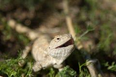 Agama della steppa Fotografia Stock