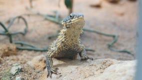 Agama die lizerd nieuwsgierig in het dier van de zonwoestijn kijken stock afbeeldingen