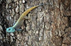 Agama dirigido azul del árbol (Acanthocercus Atricollis) foto de archivo libre de regalías