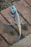 Agama dirigido azul (koggelmander) Fotos de archivo libres de regalías