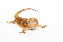 Agama - Dragon. Colored lizard on the white background Stock Photos