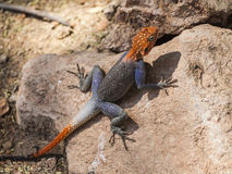 Agama. In Epupa Falls, Namibia, Africa Royalty Free Stock Photo