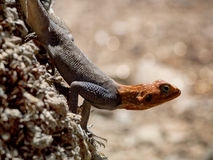 Agama. In Epupa Falls, Namibia, Africa Royalty Free Stock Image