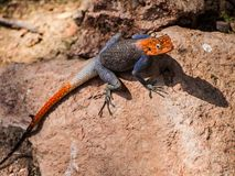 Agama. In Epupa Falls, Namibia, Africa Royalty Free Stock Photography