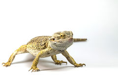 Agama is facing the camera Stock Photography