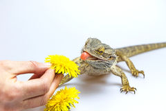 Agama fires tongue toward a dandelion Stock Photo