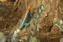 Agama hagedis die in de wildernis wordt bevlekt stock afbeelding