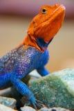 Agama Hagedis die zich lang bevindt Stock Afbeeldingen
