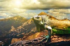 Agama hydrosaurus Fotografia Royalty Free