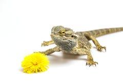 Agama i dandelion okwitnięcie Zdjęcie Stock