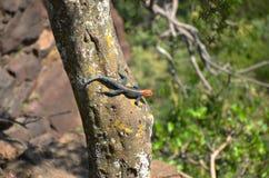 Agama intestato rosso della roccia Fotografia Stock