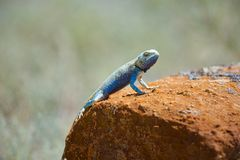 Agama jaszczurka Fotografia Royalty Free