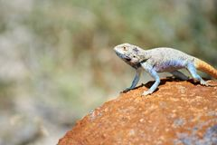 Agama jaszczurka Zdjęcia Stock