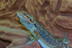Agama jaszczurka Zdjęcie Stock