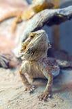 Agama jaszczurka Zdjęcia Royalty Free