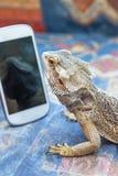 Agama jaszczurka jest przyglądającym smartphone Obrazy Royalty Free