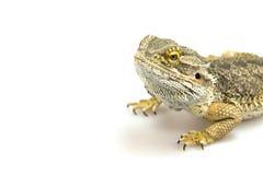 Agama jaszczurka na bielu Fotografia Stock