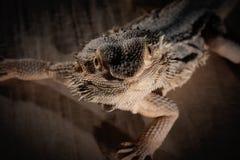 Agama jaszczurka na czarnym tle Obrazy Royalty Free