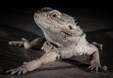 Agama jaszczurka na czarnym tle Fotografia Stock