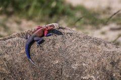 Agama jaszczurka odpoczywa na rockowym (Kenja) Zdjęcie Royalty Free
