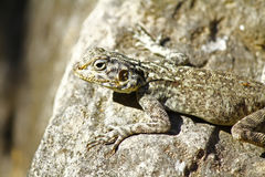 Agama jaszczurka w Oman Obrazy Royalty Free