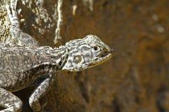 Agama jaszczurka w Oman Obrazy Stock