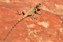 Agama jaszczurka w Petra, Jordania, Środkowy Wschód Obrazy Stock