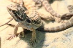 Agama jaszczurka w piasku Zdjęcia Royalty Free