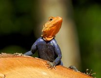 Agama jaszczurka wygrzewa się w Floryda słońcu Zdjęcie Royalty Free