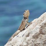 Agama jaszczurki Agama stellio cypriaca Obraz Royalty Free