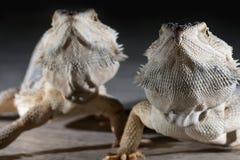 Agama jaszczurki na czarnym tle Zdjęcie Stock