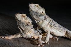 Agama jaszczurki na czarnym tle Fotografia Stock