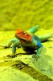 Agama jaszczurki samiec 2 Obraz Royalty Free
