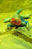 Agama jaszczurki samiec Zdjęcia Stock
