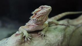 Agama, lagarto de dragón australiano almacen de video