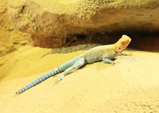 Agama Stock Images