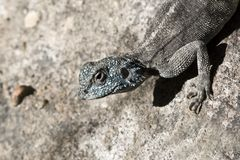 An Agama lizard, Royalty Free Stock Images