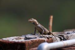 Agama lizard Stock Photo