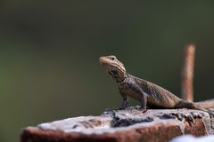 Agama lizard Stock Image