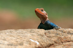 Agama Lizard. Portrait of agama lizard perching on a rock Royalty Free Stock Photography