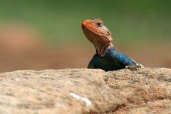 Agama Lizard royalty free stock photography