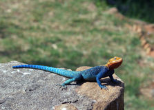 Agama lizard Royalty Free Stock Photo