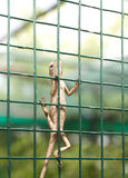 Agama lizard. On green cage Stock Image
