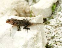 Agama Lizard. In natural environment on white stone Royalty Free Stock Image