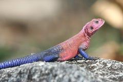 Free Agama Lizard Stock Image - 8964931