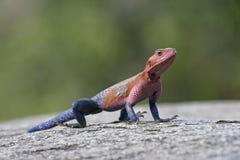Agama lizard,  Agama agama Stock Images