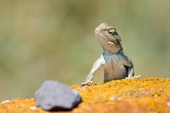 Agama lizard. Agama is the name of the genus of a group of small, long-tailed, insectivorous lizards, and the common name of these lizards Royalty Free Stock Photos