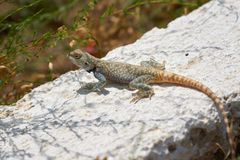 Agama lizard. Agama is the name of the genus of a group of small, long-tailed, insectivorous lizards, and the common name of these lizards Stock Image