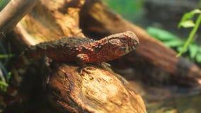 Agama lizard. Agama lizard 2018 stock images