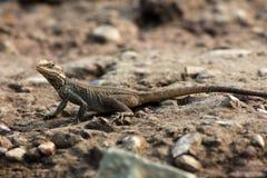Agama lizard royalty free stock photos